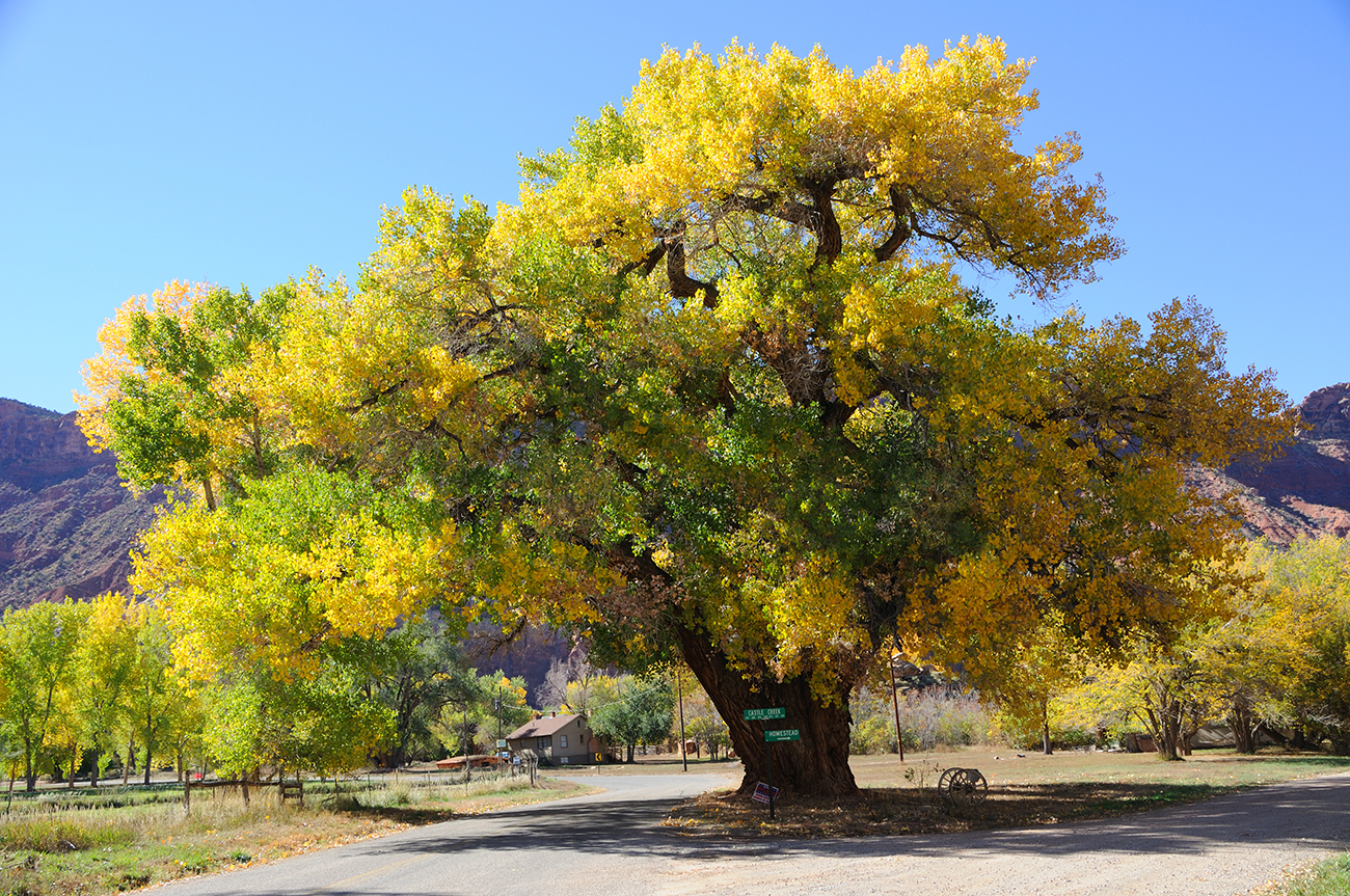 Beautiful Cottonwood Tree in Autumn - guide to hopi kachina dolls